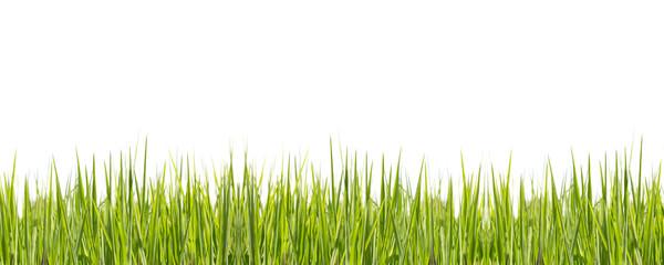 Rice plant on white background