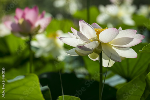 Fiori Di Loto Stock Photo And Royalty Free Images On