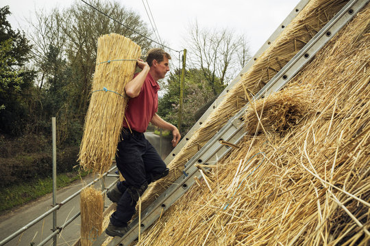 Thatcher carrying a yelm of straw up a roof.