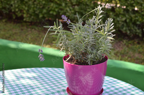 Violet pot with growing lavender in a garden in summertime stock photo and royalty free images - Growing lavender pot ...