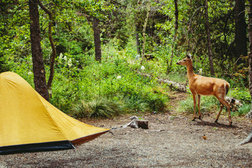 Deer by tent in forest, Glacier National Park, Montana