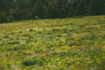 Coyote in field, Glacier National Park, Montana Wall mural