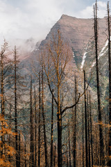 Burnt trees in aftermath of forest fire, Glacier National Park, Montana
