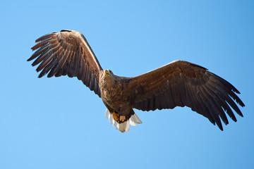 White-tailed eagle (Haliaeetus albicilla)