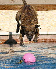 Brindle dog diving into the pool for a pink toy