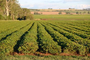 peanut crop growing in rich volcanic soil near Kingaroy, Australia