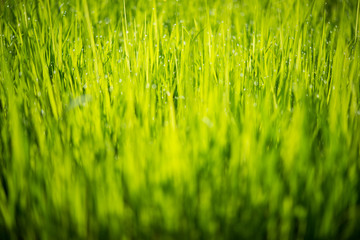 resh green rice seedlings. Bright summer. natural backgrounds