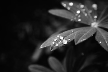 Raindrops glistening on green lupin leaf black and white macro photography