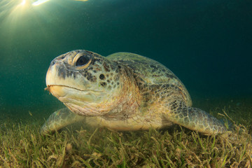Green Sea Turtle eating seagrass with sunburst