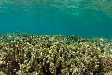 Dead coral killed by coral bleaching,climate change, global warming anbd pollution