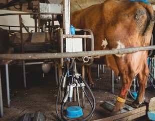 Milking equipment and cow in the barn