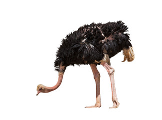 beautiful ostrich isolated