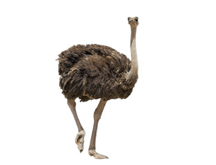 Poster Struisvogel beautiful ostrich isolated