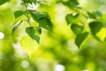 Green summer background, summer and birch leaves