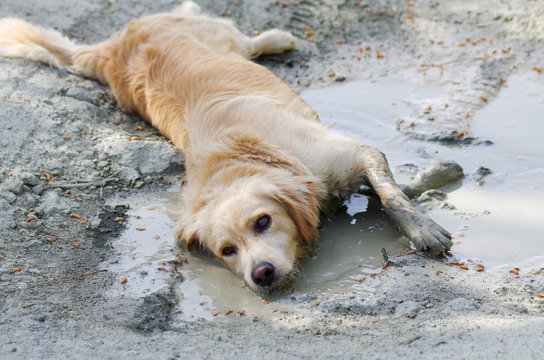 Fun Golden Retriever cooling down in a mud puddle on a hot day