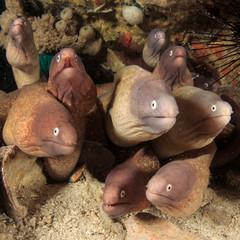 White-eyed Moray Eels