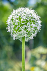 White flowers of Allium ursinum or garlic