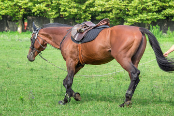man training a Beautiful horse,  galloping at the field