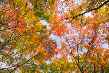 The warm autumn sun shining through colorful treetops, with beautiful bright blue sky.