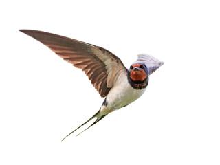 Barn swallow (Hirundo rustica) Fotoväggar