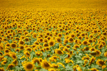 rows of sunflowers in a field as background, beautiful summer landscape