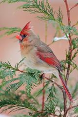 Female Northern Cardinal - Cardinalis cardinalis