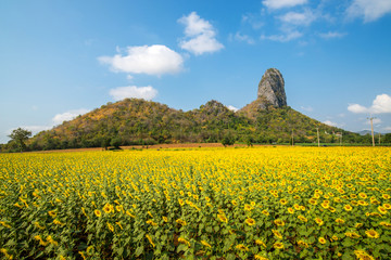 Beautiful Landscape view of sunflower field with blue sky and cl