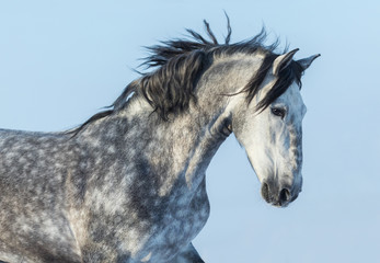 Wall Mural - Gray Andalusian Horse in motion. Portrait of Spanish horse.
