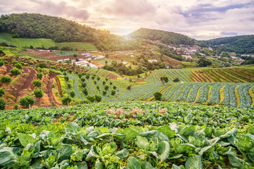 Beautiful sunrise view at cabbage field in mon jam mountain , fa