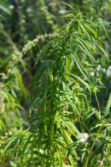 Cannabis (Marijuana) plant