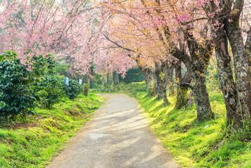 beautiful scenic view of blossoming pink sakura flower tree in g