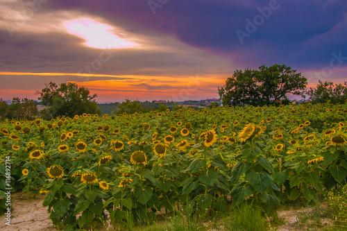 Paesaggio marchigiano con un campo di girasoli al tramonto\