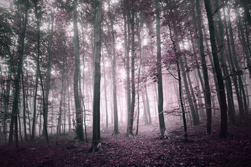 Magical light in the purple red colored forest tree landscape. Purple red color filter effect used.
