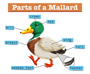 Different parts of mallard