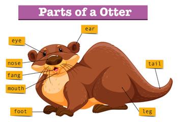 Anatomy of cute otter