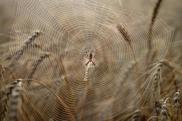 Паук в паутине на пшеничном поле