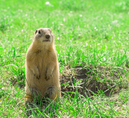 Gopher standing and starring near the burrow