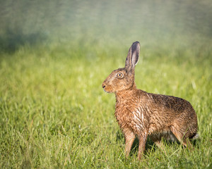 Brown Hare in field,alert, wet from bathing in puddle (Lepus europaeus)