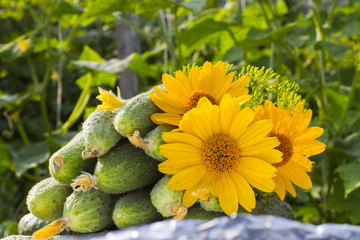 cucumbers stacked pile, with yellow flowers and ovaries yellow g
