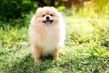 Pomeranian dog sitting in a spring park