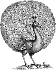Vintage illustration peacock