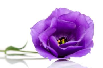 Beautiful violet eustoma flower isolated on white background