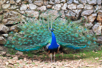 Peacock showing tail in wilderness