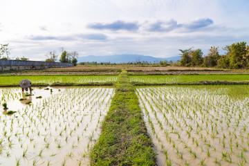 Tradition thai farmer harvesting rice paddy