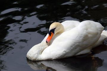Bird swan. Amazing white swan bird swims in blue water. Beautiful swan bird. Swan bird with amazing wings. Swan bird under sunlight. Amazing swan bird. Sunny swan bird. Cute swan bird. Swan on lake.