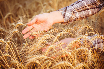 Women's hands in the ripe ears of wheat. Close-up. Horizomtal. Unrecognisable person