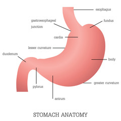 Structure and function of Stomach Anatomy system.