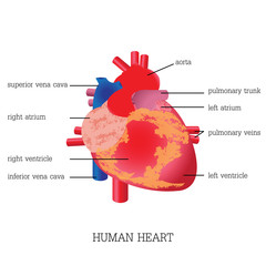 Structure and function of Human heart system.