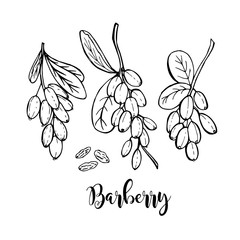 Hand drawn barberry stems in vector