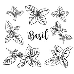 Hand drawn basil in vector